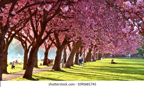 The Meadows, Edinburgh . Large public park popular with students and young families with rows of cherry blossom trees. Edinburgh city, Scotland UK. may 2018