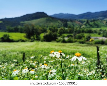 Meadows and little white flower fields in front of the mountains, spring season, selected focusing on some little white flower as a foreground and blur background picture of meadows and mountains.