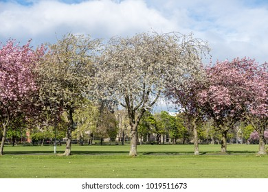 The Meadows park in spring. Beautiful pink Cherry Blossom or Sakura. in Edinburgh, Scotland
