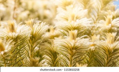 Meadows of sunlit golden plants at the Spring Festival -Mount Tomah Botanic Garden, Blue Mountains, NSW, Australia.
