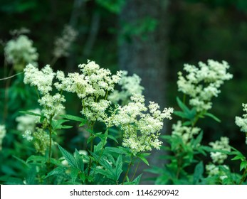 Meadowsweet (Filipendula ulmaria) blooming in the shady forest