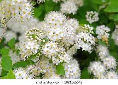 The meadowsweet (Spiraea chamaedryfolia L.). Inflorescences close-up