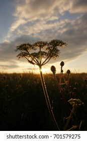 Meadowsweet at sunset