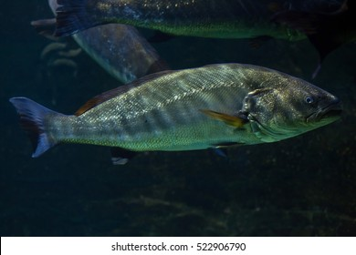 Meagre (Argyrosomus regius), also known the Atlantic shadefish.