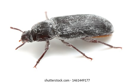 Mealworm beetle, Tenebrio molitor covered in wheat flour photographed on white background