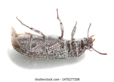 Mealworm beetle, Tenebrio molitor on its back covered in wheat flour photographed on white background