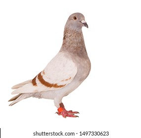 mealy feather of homing pigeon bird isolated white background