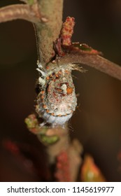 A mealybug feeding on the juices of a copperleaf plant after heavy rains.