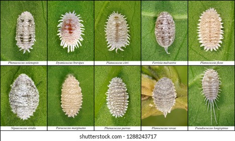 Mealybugs, Scale Insects (Hemiptera: Pseudococcidae) are one of major pests of subtropical plants in Mediterranean Region