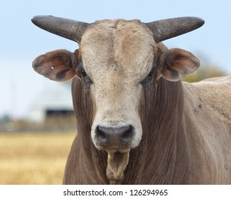 Mean Angry Bull