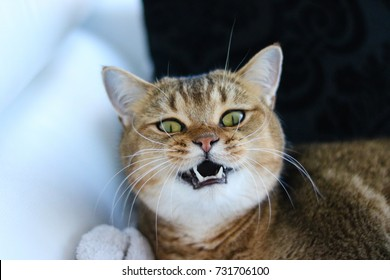 Mean cat demonstrating fangs and looking at the camera. Golden shaded British short-hair purebred male cat. Hazel eyes. Indoor cat resting on a sofa.