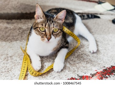 Measuring tape wrapped around a cat. No fat cat obesity concept.