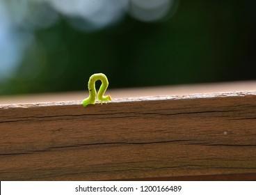 measuring worm (or Inchworm, span worm)