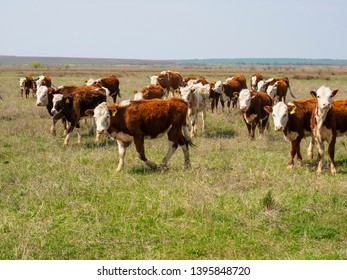 Meat cows in a meadow on pasture