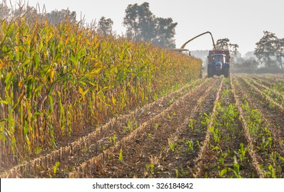 Mechanical harvesting of organic cultivated fodder maize plants at the end of a sunny day in the beginning of the autumn season.