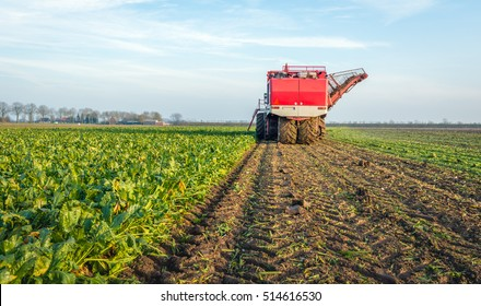 Mechanized harvesting of sugar beets in a field in the Netherlands on a sunny day in the end of the autumn season.