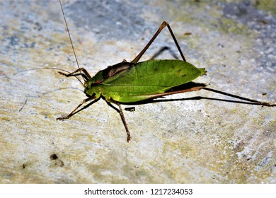 Mecopoda niponensis, a common katydid in China.