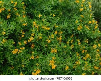 Yellow alfalfa images stock photos vectors shutterstock medicago arborea or moon trefoil or alfalfa arborea a wild plant with yellow flowers mightylinksfo