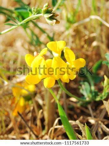 Medicago sativa flower falcata yellow alfalfa stock photo edit now medicago sativa a flower of falcata yellow alfalfa lotus uliginosus mightylinksfo