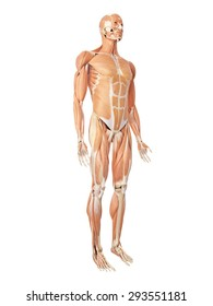 medical accurate illustration of the muscle system