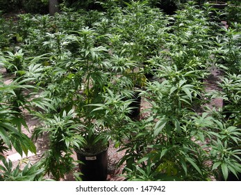 Medical Cannabis California Chronic