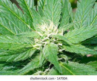 Medical Cannabis California Ornge Bud
