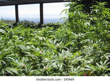 Medical Cannabis Garden