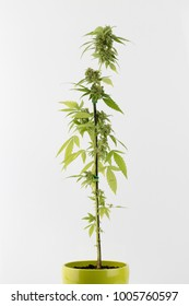 Medical Cannabis hybrid female plant in flowering phase in green flower pot on white background, gift for Valentine, Christmas or birthday, closeup