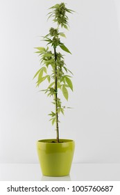 Medical Cannabis hybrid female plant in flowering phase in green flower pot on white background, gift for Valentine, Christmas or birthday,