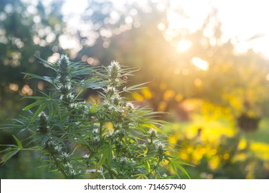 Medical cannabis sativa growing outside at sunset