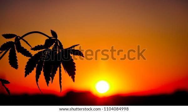 Medical cannabis sativa growing outside at sunset. Silhouette marijuana plantation in sunlight
