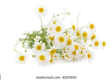 Medical chamomile on white background