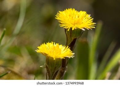 Medical coltsfoot (Tussilago farfara), sometimes coltsfoot general, is a perennial herbaceous plant with long creeping rhizome.