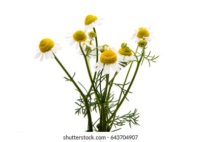 Medical daisy isolated on white background