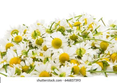 Medical daisy isolated on white background