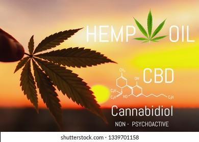 Medical Hemp Oil. CBD Chemical Formula, marijuana Cannabidiol. Cannabis leaf close up at sunset with blurred background with copy space