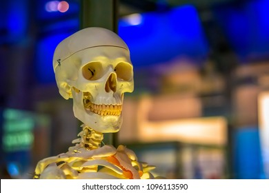 Medical human skeleton model on display at a science museum, London