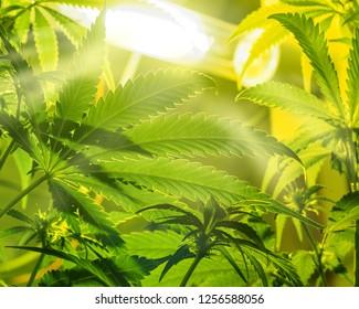 Medical legal cannabis plant under lamp. Marijuana garden indoor grow area.