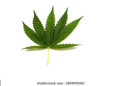 A medical marihuana leaf on a white background.