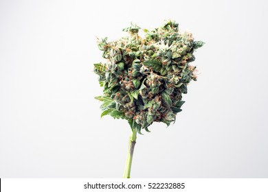 Marijuana Buds Images, Stock Photos & Vectors | Shutterstock