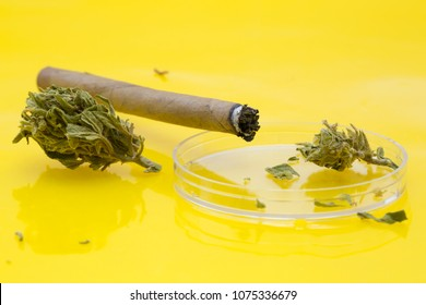 Medical marijuana, cannabis bud in petri dish and cannabis joint on yellow background