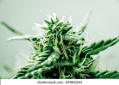 Medical marijuana cannabis bud, plant flowers