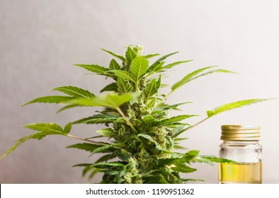 medical marijuana cannabis oil cbd