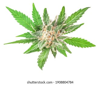 Medical marijuana flower with trichomes and orange hairs and leaves. The plant cannabis is completely in focus after stacking the images.