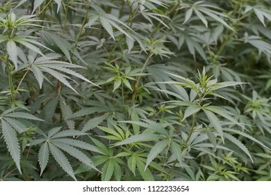 Medical marijuana growing free outside in the himalayan mountains.