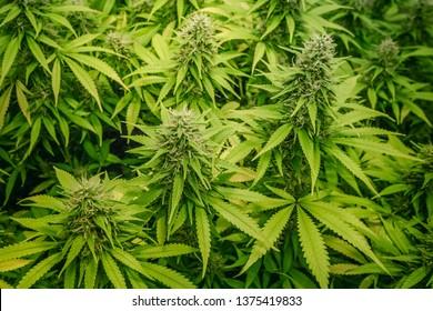 medical marijuana plants growing indoor - cannabis farm