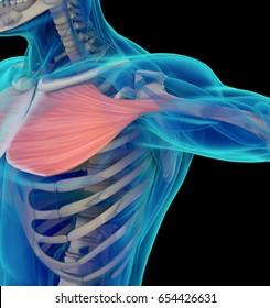 Medical muscle illustration of the pectoralis major. 3d illustration