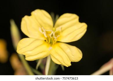 the medical plant evening primrose
