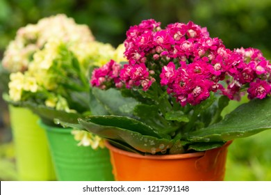 Medical plant kalanchoe, colorful blossoming flowers in small buckets close up