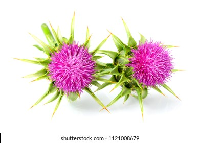 Medical plants flowers.Milk thistle (Silybum marianum) isolated on white background.